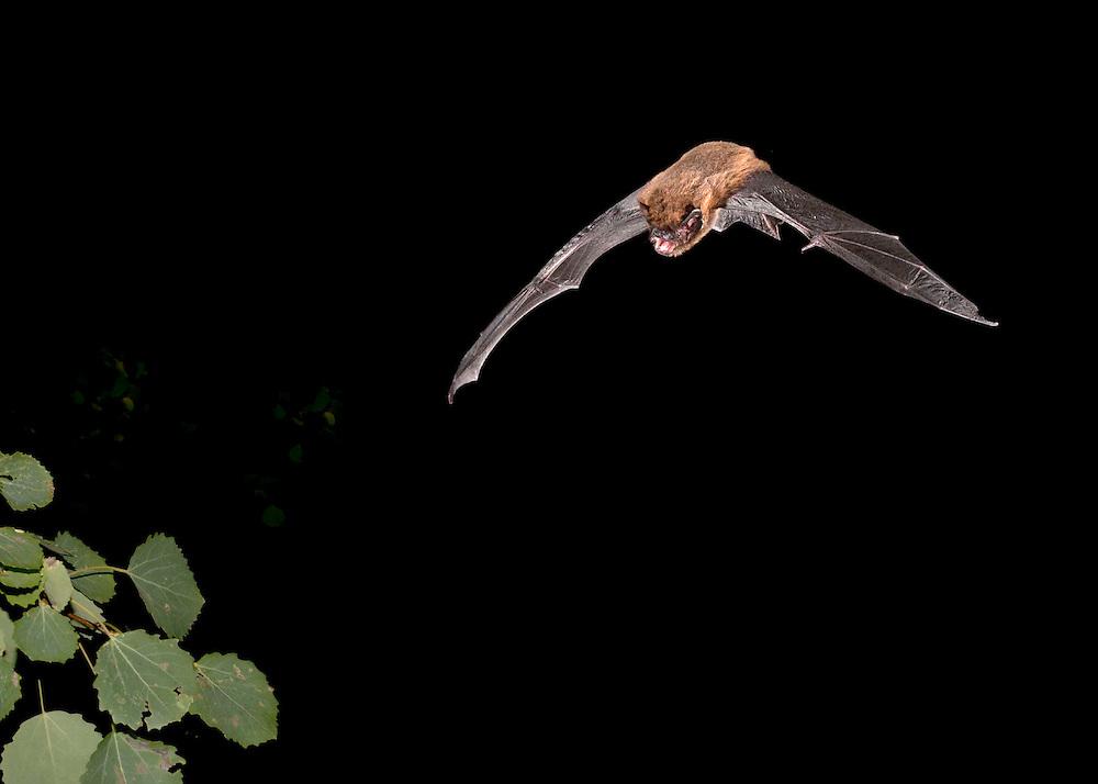 Common Pipistrelle - Pipistrellus pipistrellus