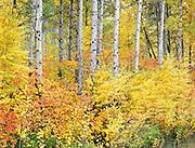 autumn aspen trees along Stevens Pass Highway 2