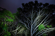 "Endemic koa trees (Acacia koa) at night in Kokee State Park, Kauai, Hawaii. The tree with sword shaped leaves in the bottom-left is the endemic hala pepe (Pleomele aurea). The unusual branching on the koa tree is, according to Nicolai Barca, Field Technician for The Nature Conservancy on Kauai, sucker growth ""in response to a light gap."""