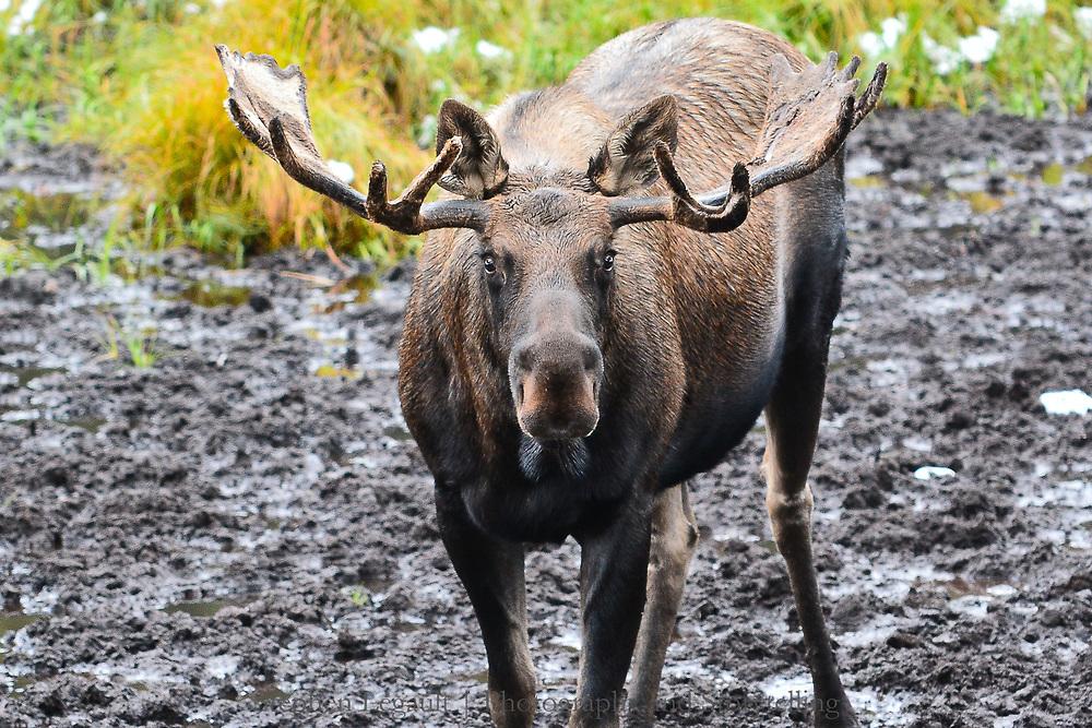 Moose, Mineral Lick, Kananaskis