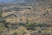 Herd of sheep and goats grazing in dry arid landscape, Presillas Bajas, Cabo de Gata national park, Almeria, Spain