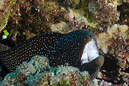 Whitemouth Moray, Gymnothorax meleagris, (Shaw & Nodder, 1795), Lanai, Hawaii