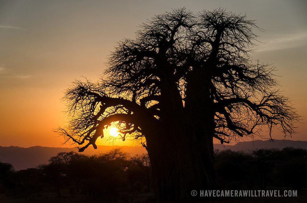 A golden sunset frames the outline of a baobab tree at Tarangire National Park in northern Tanzania not far from Ngorongoro Crater and the Serengeti.