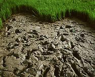 Muddy rice paddy in Mai Chau resembling a heart shape, Hoa Binh Province, Vietnam, Southeast Asia, 2011.