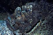estuarine stonefish, <br /> Synanceia horrida (c),<br /> Australia