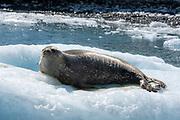 Weddell Seal (Leptonychotes weddellii) from Astrolabe Island, Antarctic Peninsula.