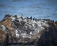 Cormorants. Carmel Beach, Pacific Coast Highway. Image taken with a Nikon D3 camera and 80-400 mm VR lens.