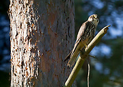 Hobby (Falco subbuteo) perched in a pine tree. Surrey, UK.