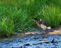 Green Heron (Butorides virescens). Sourland Mountain Preserve. Image taken with a Nikon D4 camera and 70-300 mm VR lens.