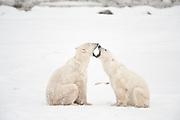 Polar bears sparring  (Ursus maritimus) on frozen tundra along the Hudson Bay Coast<br /> <br /> Churchill<br />Manitoba<br />Canada