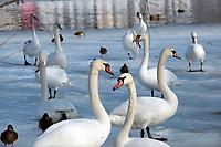 Augustow, 24.02.2021. Przypadek ptasiej grypy stwierdzono u martwego labedzia znalezionego na rzece Nettcie w centrum Augustowa. Brzegi rzeki Netta i Kanalu Bystrego zostaly ogrodzone tasma oraz wprowadzono zakaz dokarmiania dzikego ptactwa wodnego. fot Michal Kosc / AGENCJA WSCHOD