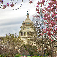 Historic Washington DC landmark photography image displaying the United States Capitol surrounded by beautiful Cherry Blossom.   <br /> <br /> Washington DC photos are available as museum quality photography prints, canvas prints, acrylic prints or metal prints. Fine art prints may be framed and matted to the individual liking and decorating needs: <br /> <br /> https://juergen-roth.pixels.com/featured/cherry-blossom-framing-the-united-states-capitol-juergen-roth.html<br /> <br /> All photographs are available for digital and print image licensing at www.RothGalleries.com. Please contact me direct with any questions or request.<br /> <br /> Good light and happy photo making!<br /> <br /> My best,<br /> <br /> Juergen<br /> Prints: http://www.rothgalleries.com<br /> Photo Blog: http://whereintheworldisjuergen.blogspot.com<br /> Twitter: @NatureFineArt<br /> Instagram: https://www.instagram.com/rothgalleries<br /> Facebook: https://www.facebook.com/naturefineart