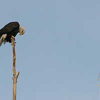 A Bald Eagle perches in a tree in the Owens Valley, California.