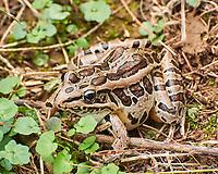 Pickerel frog. Image taken with a Nikon 1 V3 camera and 70-300 mm VR ens.