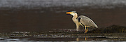 Hegre leter etter mat | Heron looking for food