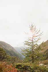 Larch tree on mountain, Austrian Alps, Zirmsee, Carinthia, Austria
