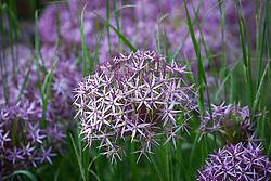 Allium cristophii AGM (Star of Persia) growing with Calamagrostis × acutiflora 'Karl Foerster'