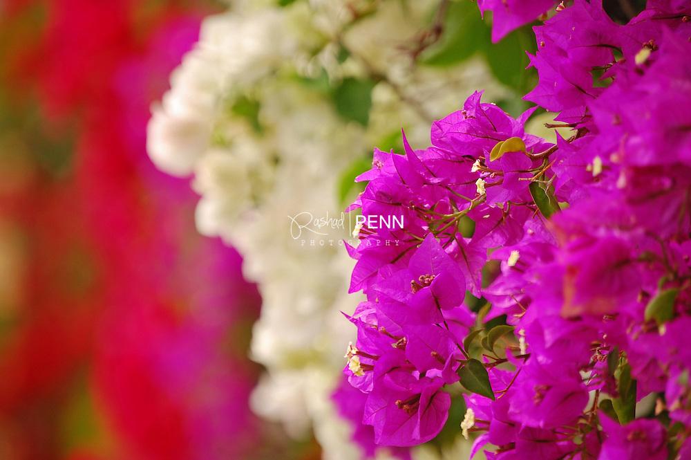 Bougainvillea plant in bloom