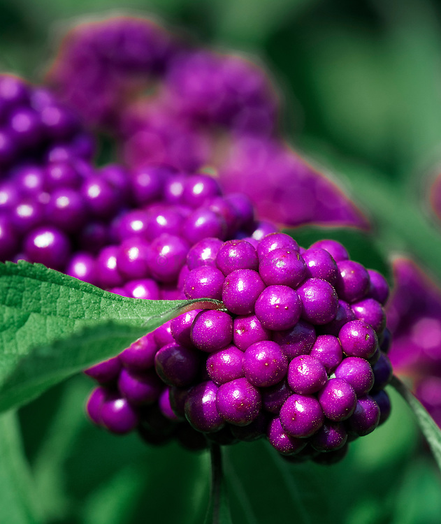 Beautyberry fruit, Callicarpa