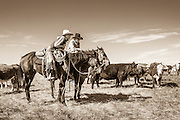 Cowboys talking horseback discussing the days work while cattle graze in pasture in Chugwater, Wyoming.