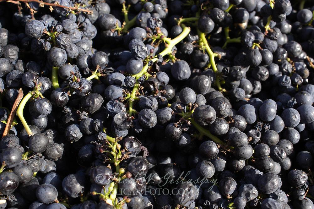 Pinot Noir Cluster - Santa Cruz Mountains