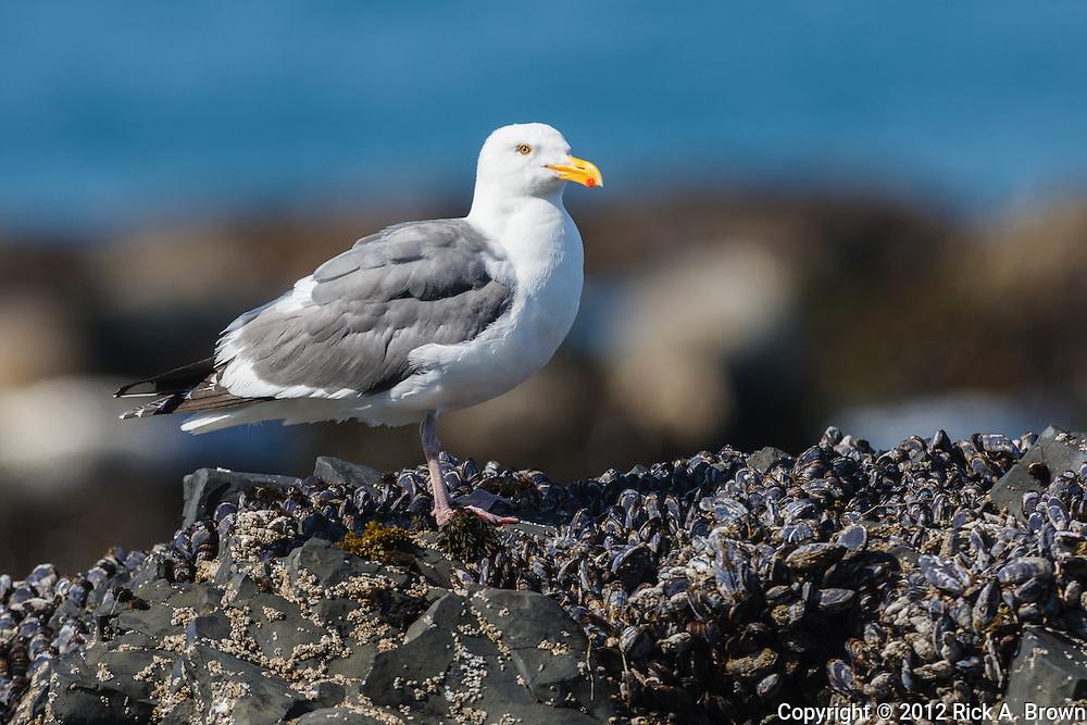 USA, Oregon, Newport, Yaquina Head, Western Gull (Larus occidentalis)
