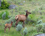 Elk fawn and doe at Yellowstone National Park, Wyoming