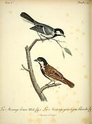 Mésange brune [Brown Tit] from the Book Histoire naturelle des oiseaux d'Afrique [Natural History of birds of Africa] Volume 3, by Le Vaillant, François, 1753-1824; Publish in Paris by Chez J.J. Fuchs, libraire 1799 - 1802