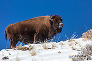 Bison in winter in Yellowstone National Park, Wyoming, USA