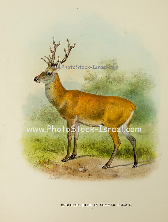 Père David's deer (Elaphurus davidianus) on Duke of Bedford's estate At Woburn Deer Park in Bedfordshire, from the book ' The deer of all lands : a history of the family Cervidae, living and extinct ' by Richard Lydekker, Published in London by Ward 1898