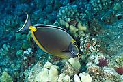 orangespine unicornfish or naso tang or umauma-lei, Naso lituratus, feeding, Molokini Crater, off Maui, Hawaii ( Pacific )
