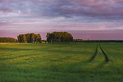 Summer sunset colours the clouds purplish and paints sharp shadows over growing wheat fields, near Limbaži, Latvia Ⓒ Davis Ulands | davisulands.com