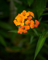 Siberian Wallflower Flower. Image taken with a Nikon D850 camera and 105 mm f/2.8 VR macro lens