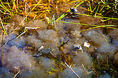 Spawning frogs, Pyrenees
