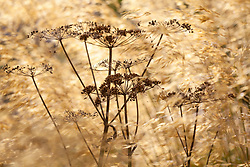 Cow parsley seedhead amongst Stipa gigantea (Golden oats). Anthriscus sylvestris