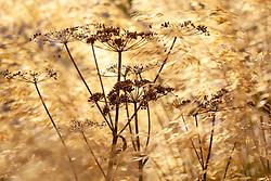 Cow parsley seedhead amongst Stipa gigantea (Golden oats). Anthriscus sylvestris