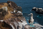 Blue-footed booby (Sula nebouxii excisa) <br /> Punta Suarez, Española or Hood Island Island<br /> GALAPAGOS ISLANDS<br /> ECUADOR.  South America<br /> By far the least common of the three booby species in Galapagos but the Blue-footed boobies are the most commanly seen as their small colonies are spread throughout the archipelago. They nest close to shore on flat areas. The nests are relatively closely spaced, but consist of nothing more than a shallow scrape in the ground. They have less than an annual breeding cycle and different colonies can be found breeding around the archipelago throughout the year. Their courtship antics are entertaining. In trying to attract a mate the male actually dances. If a female is attracted to him she will join him and together they will dance the 'booby two step'. Sexes are differentiated by the eyes. Males appear to have smaller pupils than females. (females have a darkly stained iris giving the impression of a larger pupil) The female is also larger and her voice is distinct - a honk while the male whistles. They are inshore feeders and are able to dive in shallow water. As they feed close to shore it is feasible for the parent birds to return with food sufficient for three chicks so in a good year they may raise up to three.