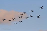 03: UPPER MISS SWANS IN FLIGHT