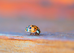 A friendly little ladybug crawling towards me