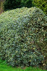 Variegated Ilex - holly - hedge.