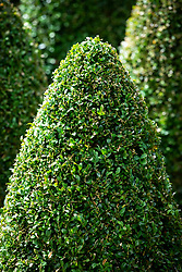 Clipped Buxus sempervirens - Box - topiary cones
