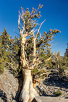 Bristlecone Pine tree (Pinus longaeva). These trees are the oldest living things on earth, the oldest reaching ages of nearly 5000 years. Dead trees do not decay but weather away like rocks and can remain for an additional several thousand years more. Great basin national park Utah USA