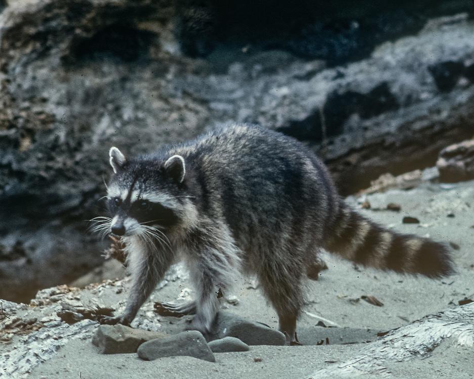 Racoon, Pacific Ocean wilderness beach, Olympic National Park, Washington, USA