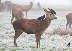 © Licensed to London News Pictures. 27/11/2020. London, UK. Deer has a visitor in the early morning frost and fog in Richmond Park. Walkers, cyclists drivers and Black Friday shoppers were hit with dense fog and a heavy frost this morning as they did the daily commute through Richmond Park, South West London. Yesterday Health Secretary Matt Hancock set out his plans for the end of lockdown on the 2 of December and introduced a new Covid Tier 2 restriction system for London with shops, pubs and restaurants to open up again for the Christmas period. Photo credit: Alex Lentati/LNP