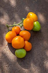 Tomato 'Zlatava'