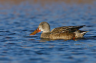 Northern Shoveler - Spatula clypeata - female