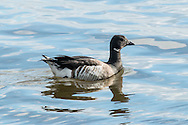 This brant, a small wild goose, is swimming near shore at West Dennis Beach.