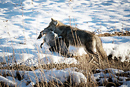 A coyote carries a Canada goose that it has stashed along a riverbank.