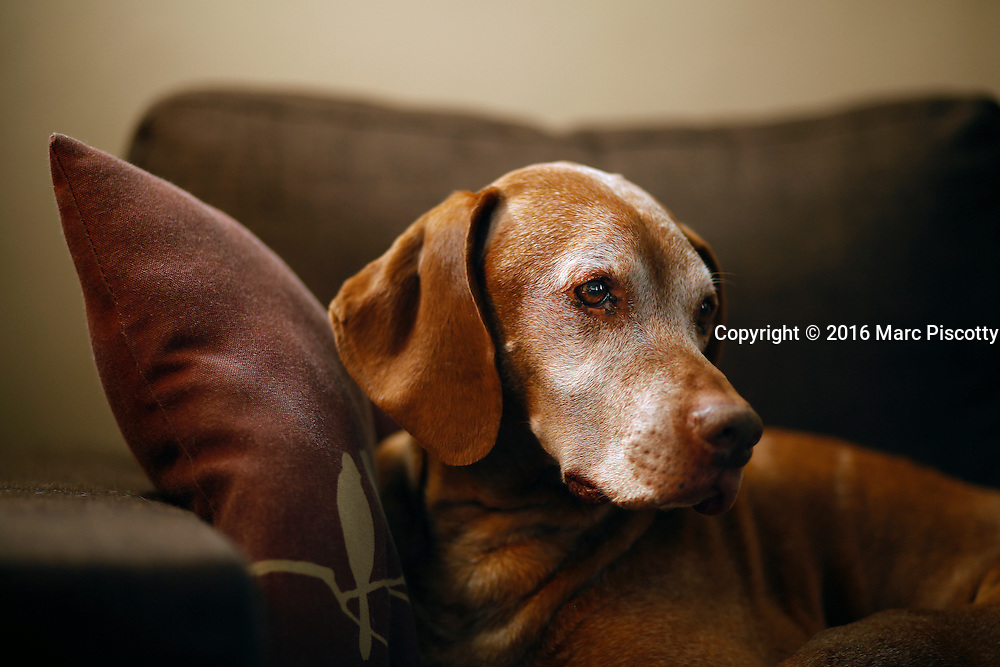 SHOT 2/17/16 3:13:07 PM - Tanner, an 11 year-old male Vizsla, sleeping on his chair at his home in Denver, Co.<br /> (Photo by Marc Piscotty / © 2016)