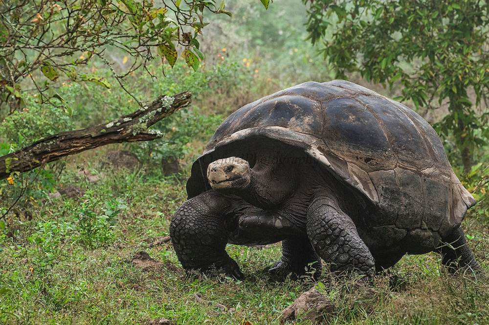Galapagos Giant Tortoise (Geochelone elephantophus vandenburghi)<br /> Alcedo Volcano crater floor, Isabela Island<br /> GALAPAGOS ISLANDS<br /> ECUADOR.  South America<br /> One of 11 sub-species survising in the islands. This is an example of the dome-shaped sub-species. Alcedo hosts over half the 15,000 tortoises left in Galapagos. All tortoises were heavy hunted for food in the past. Dome-shaped males are double the size of the females. Males stay mainly in the highlands while females migrate towards the coast when they need to lay eggs.